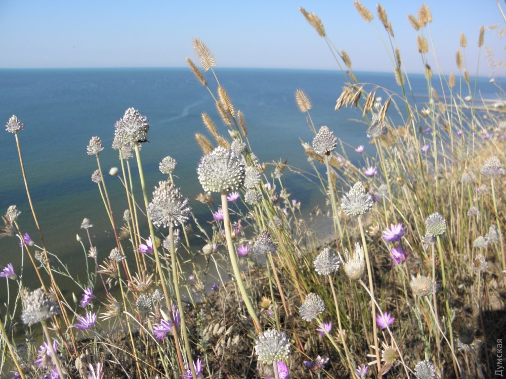 Лук крапчатый - Allium guttatum
