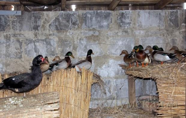 Содержание в домашних условиях дикой утки