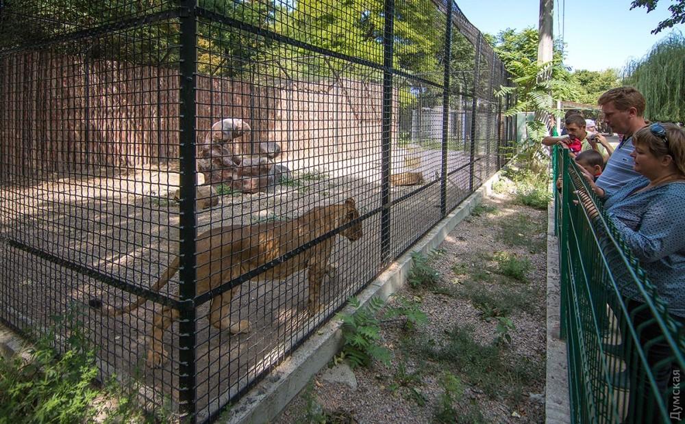 Всего в Одессе пять львов: лев Симба и четыре львицы разных возрастов. Новый вольер достался младшим