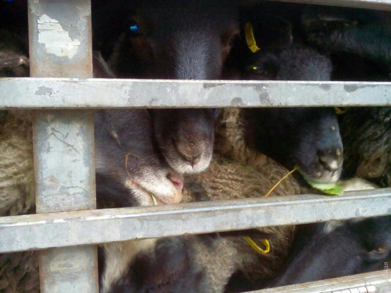 Вгосударстве Украина застрявших впорту овец решили утилизировать