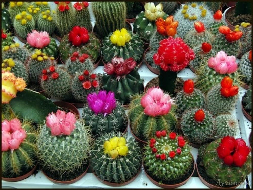 Фото комнатных цветов кактусов