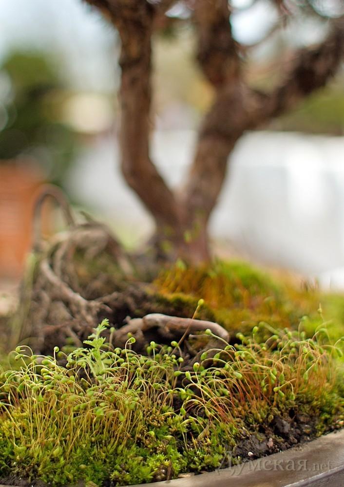 Такой живописный мох украшает плошки многих миниатюрных деревьев