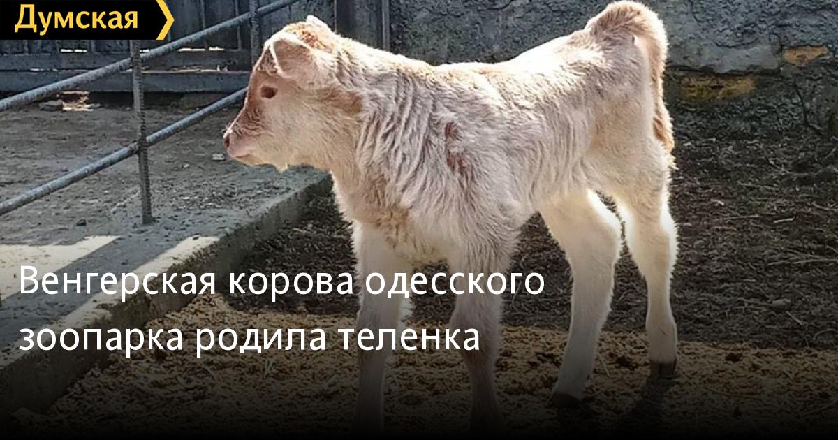 Венгерская корова одесского зоопарка родила теленка