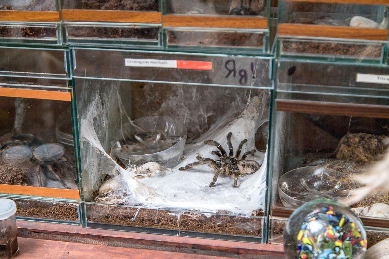 Паук-единорог Ceratogyrus marshalli